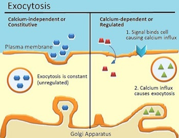 Example of endocytosis and exocytosis in the human body